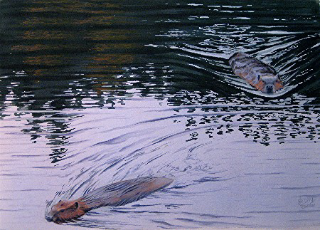 Beavers, Ahmoo Creek
